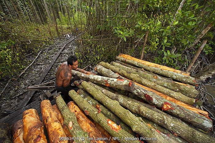 Stacking logs by the river for transport to charcoal kilns. Logging in the Matang mangrove forest, where (Rhizophora apiculata) trees are grown for 30 years and then harvested for charcoal production. This hundred year old program is considered the best managed production mangrove forest in the world. Taiping vicinity, Perak, Malaysia. May 2006
