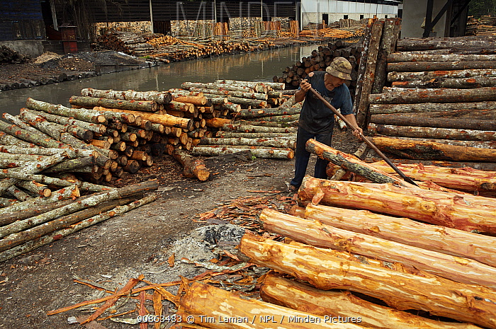 Logs stacked near the charcoal kilns. Charcoal production near Taiping, Malaysia, where (Rhizophora apiculata) mangrove wood from the Matang Mangroves is used to produce charcoal using traditional methods. Taiping vicinity, Perak, Malaysia. May 2006