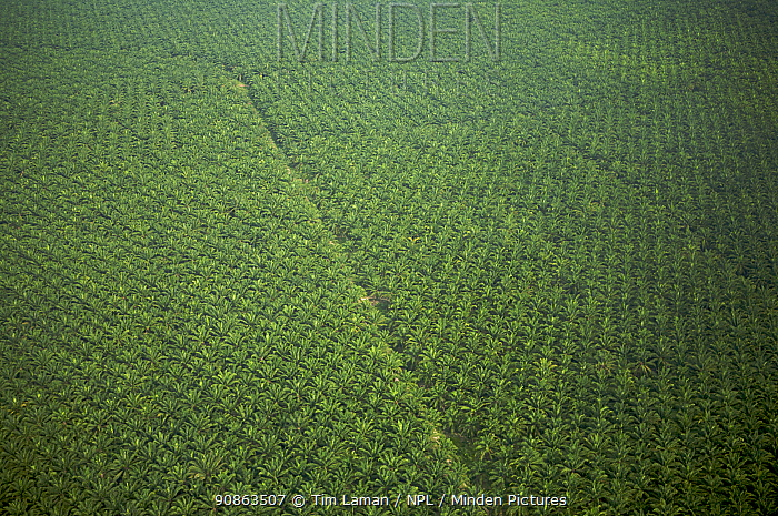Aerial view of oil palm plantation. Sungai Petani vicinity, Kedah, Malaysia. May 2006