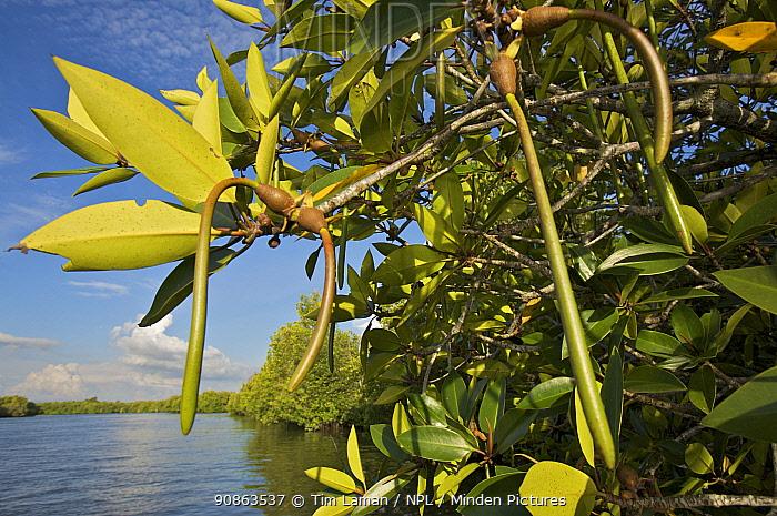 Mangrove propagules sprouting while still on the tree {Rhizophora sp} Sungai Petani vicinity, Kedah, Malaysia.
