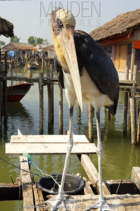 Lesser Adjutant stork (Leptoptilos javanicus) captive, Jaring Halus village, North Sumatra, Indonesia. June 2006