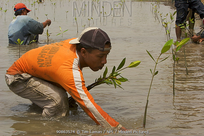 Fisherman and volunteers from the Mangrove Action Project work to plant mangrove seedlings in abandonned shrimp ponds near Jaring Halus Village, North Sumatra. Dykes have been opened to restore natural tidal flow to the ponds. North Sumatra, Indonesia. June 2006