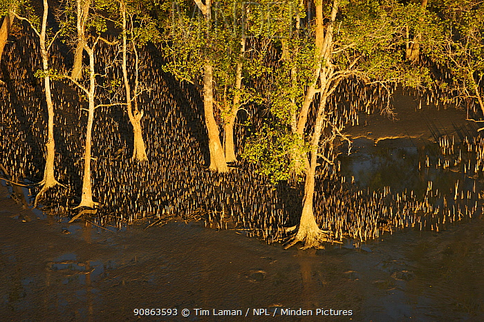 Aerial view of {Sonneratia sp} mangrove forest and adjacent mudflat at low tide, Lines of breathing roots are visible protruding from the mud radiating out from the trees. Bako National Park, Sarawak, Borneo, Malaysia, June 2006