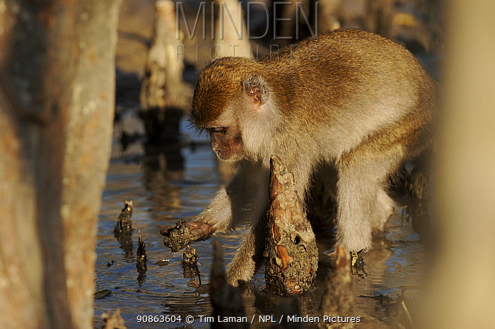 Long-tailed / Crab-eating macaque (Macaca fascicularis) foraging amongst roots on the mangrove mudflats at low tide. Bako National Park, Sarawak, Borneo, Malaysia. June 2006