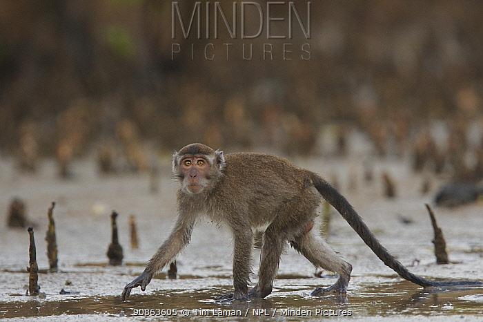 Long-tailed / Crab-eating macaque (Macaca fascicularis) on the mangrove mudflats at low tide. Bako National Park, Sarawak, Borneo, Malaysia. June 2006