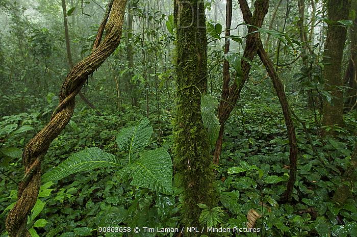Rainforest interior view after rain, inside the Caldera on Bioko Island, Equatorial Guinea, January 2008.