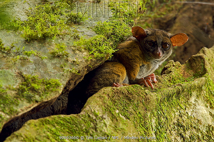 Allen's squirrel bushbaby (Galago / Sciurocheirus alleni alleni) peering from a crack in its roosting tree, Endemic subspecies to Bioko Island, Equatorial Guinea, January