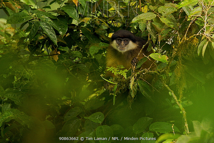Pennant's Red Colobus (Procolobus pennantii pennantii) monkey in rainforest. Adult male. Critically endangered species, endemic subspecies to Bioko Island, Equatorial Guinea, January