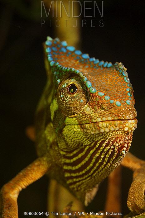 Crested Chameleon (Chamaeleo cristatus) Bioko Island, Equatorial Guinea, January