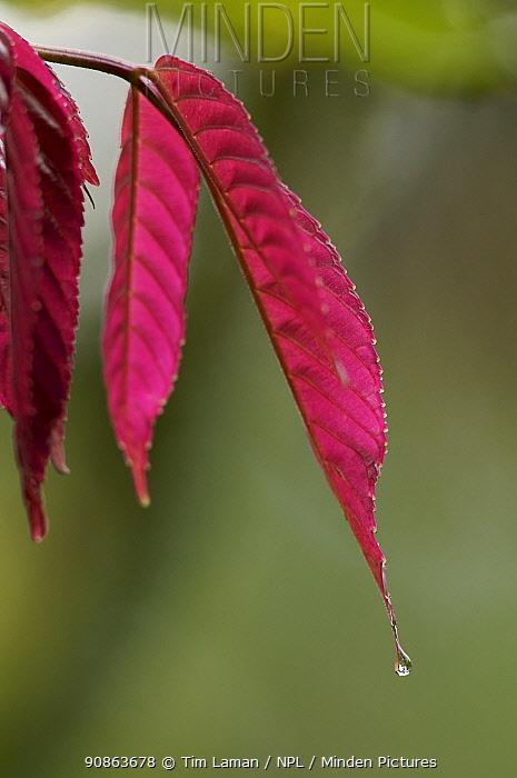 Newly emerged red leaves of a rainforest plant, Bioko Island, Equatorial Guinea, January