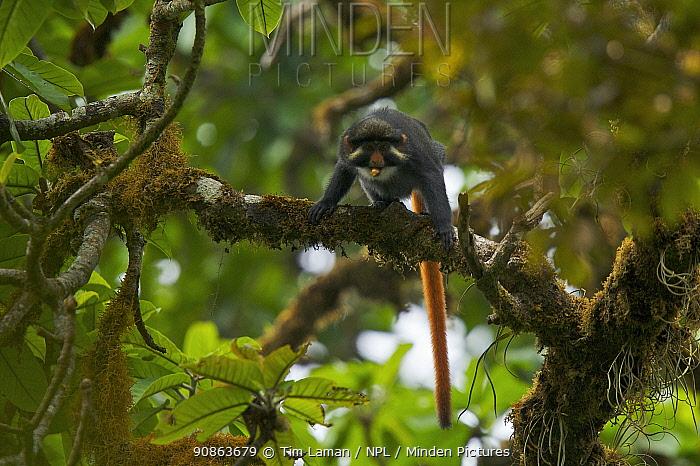 Bioko red-eared guenon (Cercopithecus erythrotis erythrotis) male in rainforest, Endemic subspecies to Bioko Island, Equatorial Guinea, Endangered Species, January