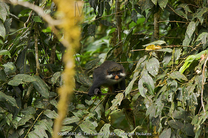 Red-eared guenon (Cercopithecus erythrotis erythrotis) in rainforest, Bioko Island, Equatorial Guinea. Endangered Species, January 2008