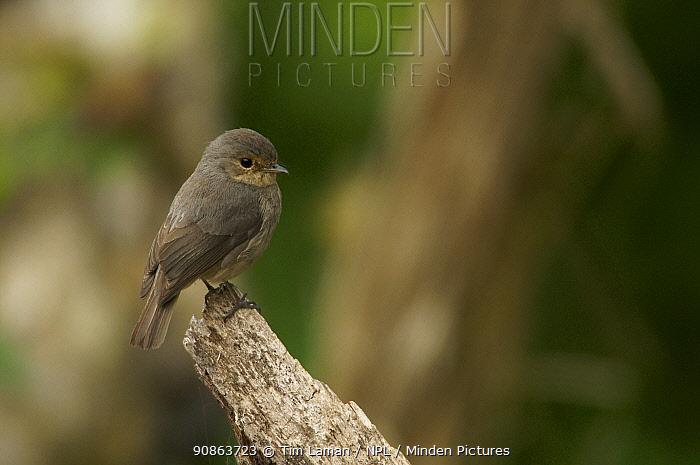 African Dusky Flycatcher (Muscicapa adusta) Bioko Island, Equatorial Guinea.