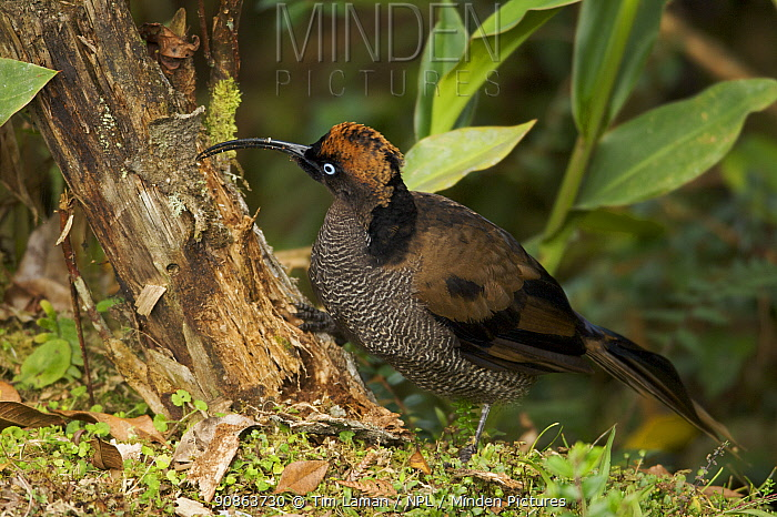 Immature male Brown Sicklebill {Epimachus meyeri} showing transitional plumage to adult male, foraging for insects in a tree stump, Mt. Hagen, Enga Province, Papua New Guinea.