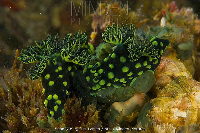 Pair of Nudibranchs (Nembrotha kubaryana) on coral reef, Malapascua Island, Visayan Sea, Philippines