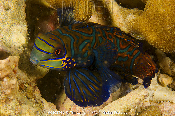 Close up view of male Mandarin fish (Synchiropus splendidus) Malapascua Island, Visayan Sea, Philippines