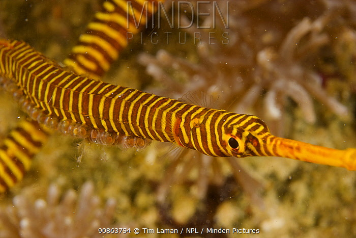 Male Orange-banded pipefish (Dunckerocampus pessuliferus) with eggs attached to belly, and female nearby. Example of male parental care in fish. Malapascua Island. Visayan Sea, Philippines