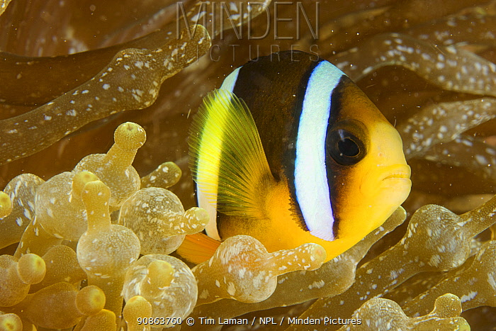 Clark's anemonefish (Amphiprion clarkii) hiding amongst an anemone's tentacles. Malapascua Island. Visayan Sea, Philippines