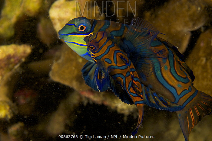 A pair of Mandarinfish (Synchiropus splendidus) swim close together prior to spawning. (Large male and small female) Malapascua Island. Visayan Sea, Philippines