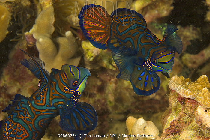 A pair of Mandarinfish (Synchiropus splendidus) swim close together prior to spawning. (Large male and small female). Malapascua Island. Visayan Sea, Philippines