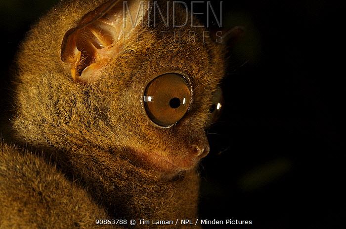 Head portrait of a Wild Western / Sunda tarsier (Tarsius bancanus) on tree trunk at night. Danum Valley Conservation Area, Borneo, Sabah, Malaysia