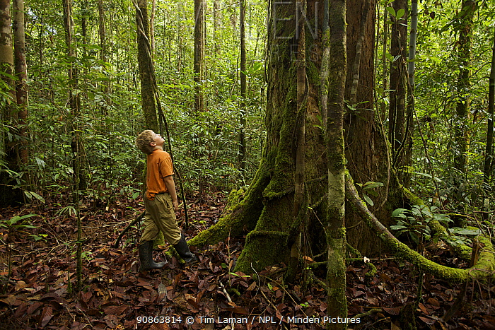 Young boy (model released) 9 years of age, looking at a big tree in tropical rainforest. Borneo July 2007