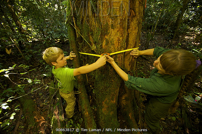 Young boy helps his mother (orangutan researcher Cheryl Knott) measure the diameter of an orangutan food tree (Artocarpus sp.) with a measuring tape. Borneo, July 2007. Model released
