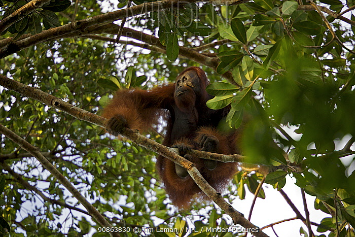 Young adult male Bornean Orangutan (Pongo pygmaeus) named Gordon, sitting in tree branches, Borneo, July 2007