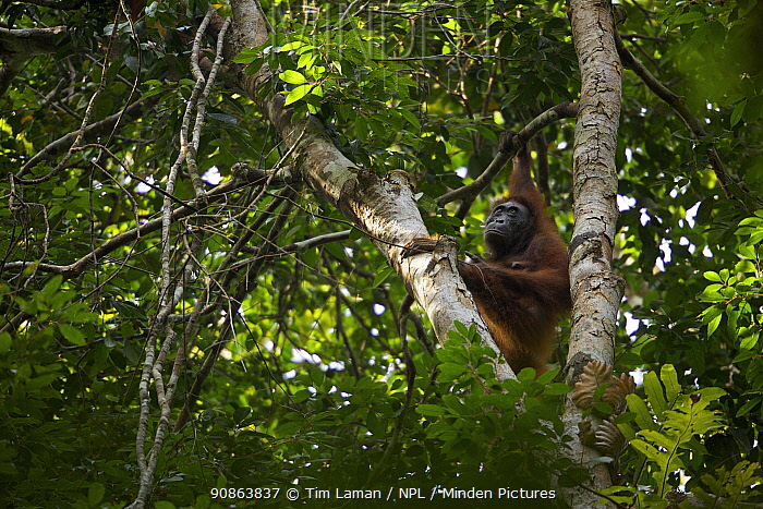 Adult female Bornean Orangutan (Pongo pygmaeus) named Beth, climbing tree trunk, Borneo, July 2007
