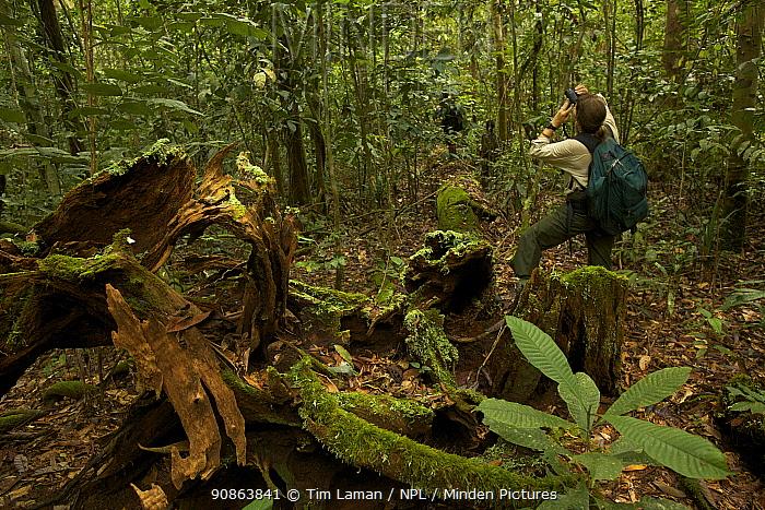 Orangutan researcher Cheryl Knott (model released)watches a wild Orangutan in the rainforest in Borneo, July 2007