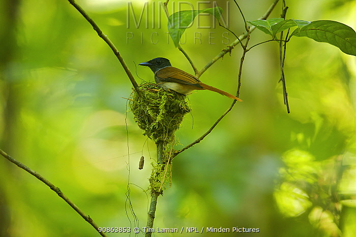 Female Asian Paradise flycatcher (Terpsiphone paradisi) on nest, Borneo