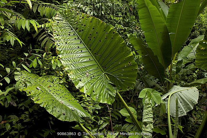 Giant Elephant Ear plant leaf (Alocasia sp.) tropical rainforest, Borneo, July 2007