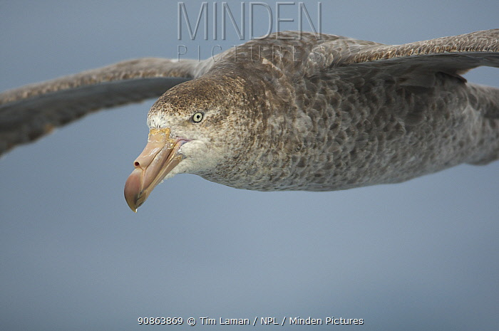 Northern / Hall's giant petrel (Macronectes halli) in flight over the Drake Passage, Southern Ocean, January