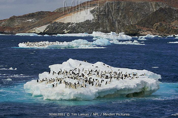 Adelie penguin (Pygoscelis adeliae) flock on floating iceberg off Heroina Island, Danger Islands, Weddell Sea, Antarctica, January 2009