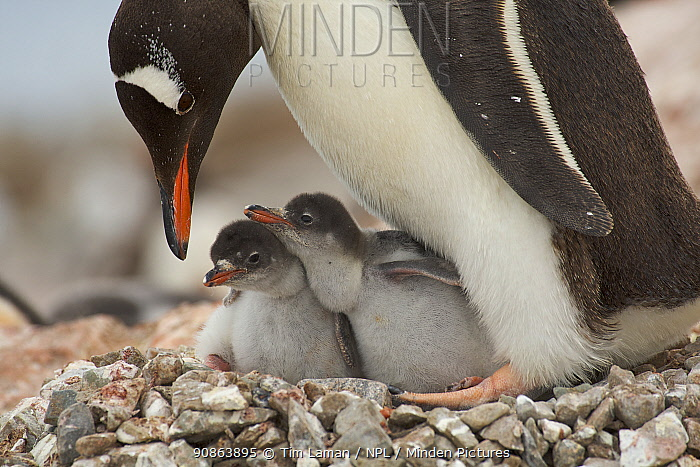 Family portrait of Gentoo penguins (Pygoscelis papua) adult and chicks on the nest. Antarctica, January