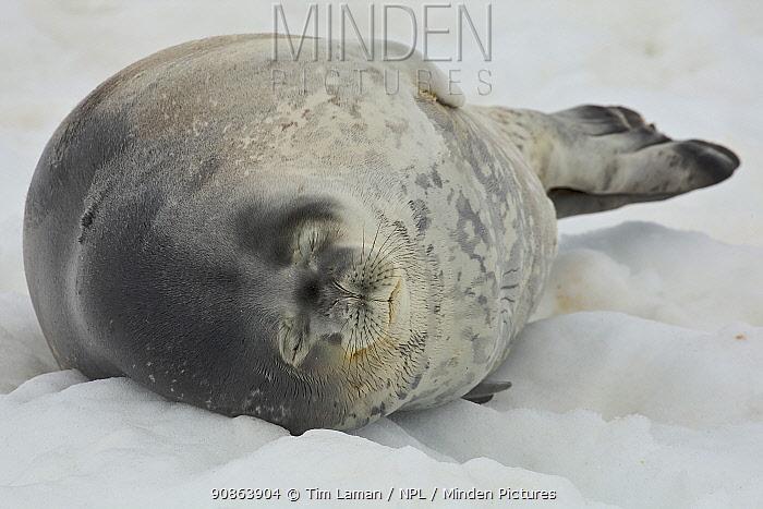 Weddell seal (Leptonychotes weddellii) lying on ice, Antarctica, January
