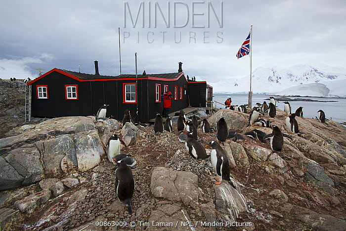 Restored British research station with flock of Gentoo penguins (Pygoscelis papua) in foreground, Antarctica, January 2009