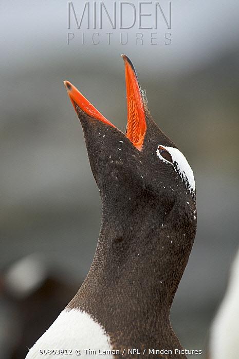 Gentoo penguin (Pygoscelis papua) adult calling, Antarctica, January