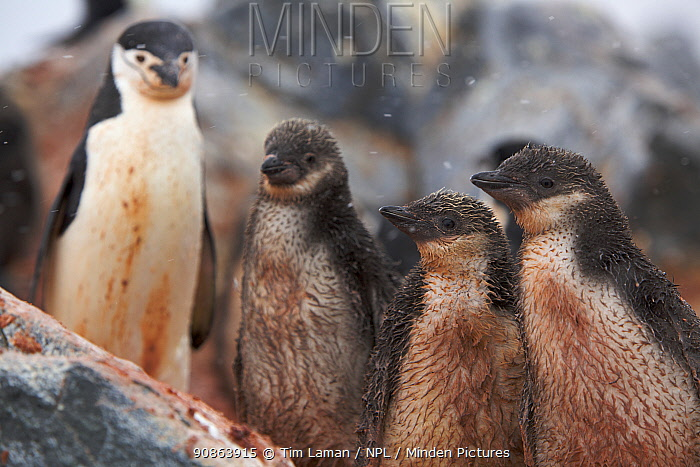 Chinstrap penguins (Pygoscelis antarctica) adult and chicks covered in red mineral mud from the earth, Antarctica, January