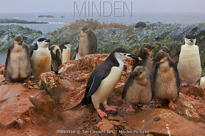 Chinstrap penguin (Pygoscelis antarctica) two families covered in red mineral mud from the earth, Antarctica, January