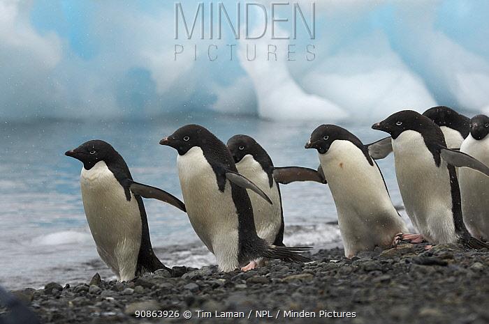 Adelie penguin (Pygoscelis adeliae) flock walking along the beach with icebergs in background, Devil Island, Antarctica, January