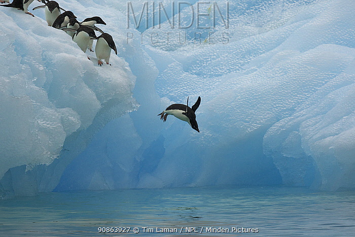 Adelie penguins (Pygoscelis adeliae) diving off iceberg, Antarctica, January