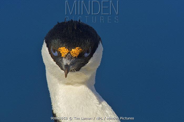 Antarctic cormorant / shag (Leucocarbo bransfieldensis) portrait, Antarctica, February