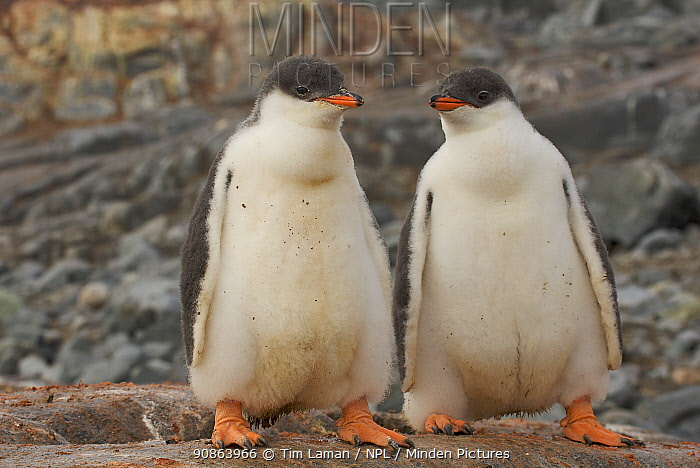 Two Gentoo penguin chicks (Pygoscelis papua) Antarctica, February