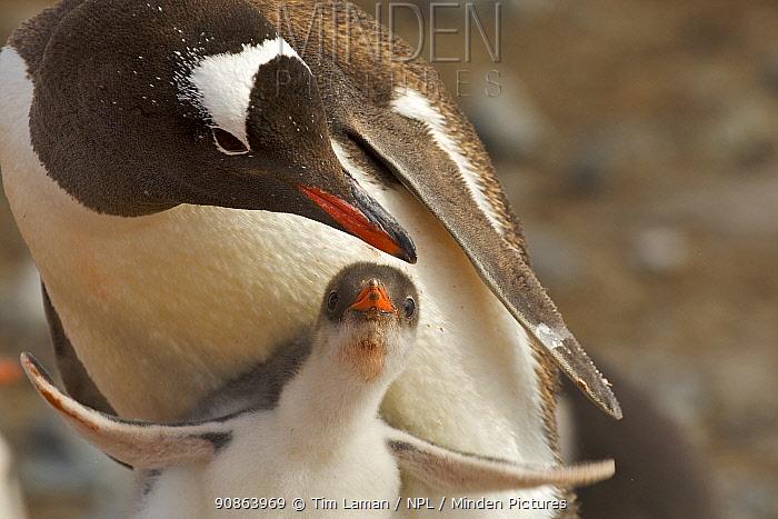 Gentoo penguin (Pygoscelis papua) adult and chick, Antarctica, February