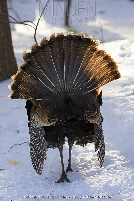 Rear view of young male Wild turkey (Meleagris gallopavo) displaying in snow, Lexington, Massachusetts, USA, March