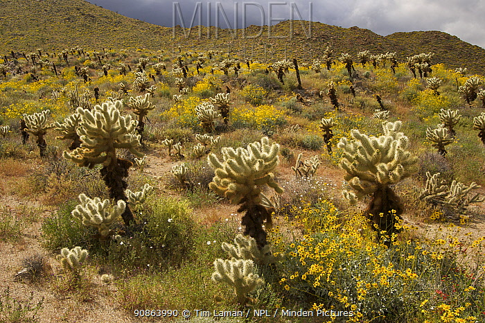 Flowering Brittlebush (Encelia farinosa) with Cholla cactus (Opuntia sp) and other desert plants. Anza-Borrego Desert State Park, California, USA. March 2005