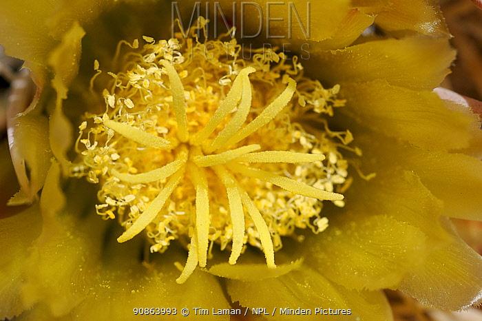 A close-up of Barrel cactus (Ferocactus sp) in flower, Anza-Borrego Desert State Park, California, USA.