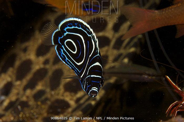 Emperor Angelfish (Pomacanthus imperator) juvenile, Bali, Indonesia