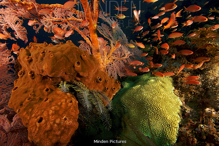 A coral reef scene detail, with a school of Lyretail anthias (Pseudanthias squamipinnis) fish hovering in the current next to a sea fan, sponge, and hard coral, Bali, Indonesia